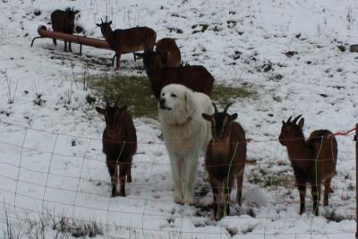 Herdenschutzhund-1